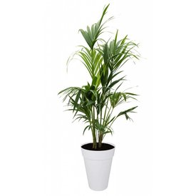Fleur.nl - Palm Kentia Howea in Pot Elho loft