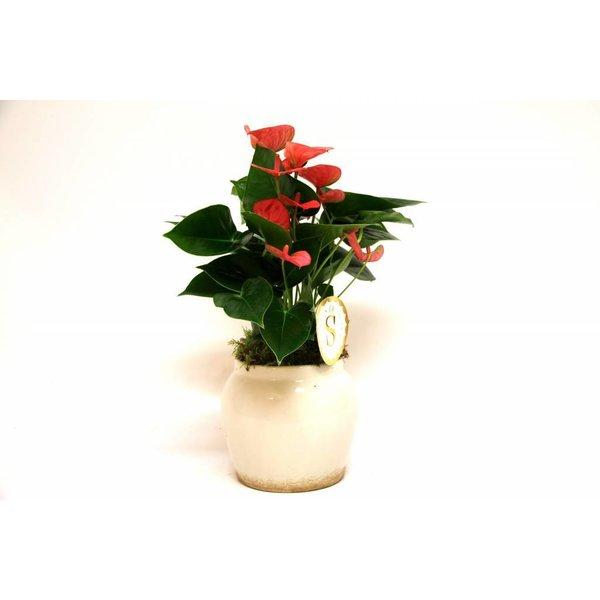 Anthurium roze in Roma Pot