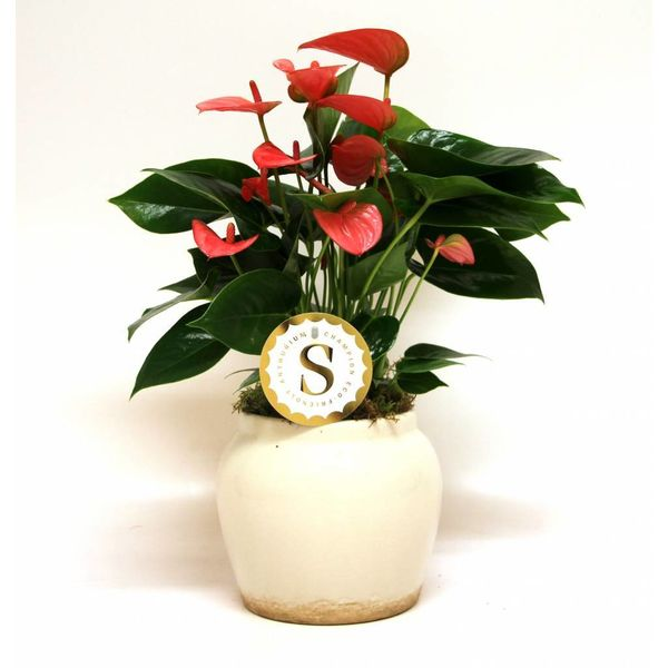 Anthurium roze in Roma Pot