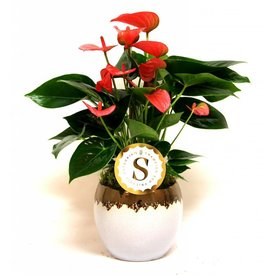 Fleur.nl - Anthurium roze in Vera pot wit