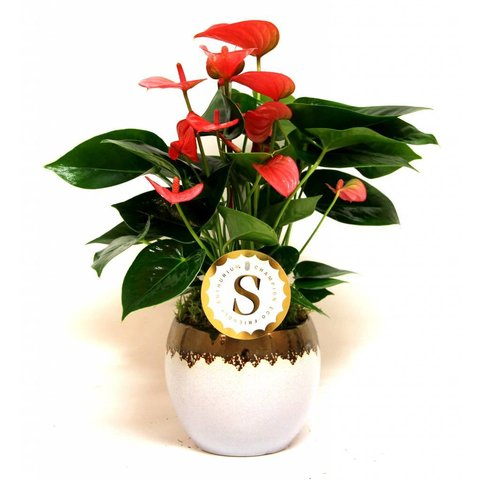Anthurium roze in Vera pot wit