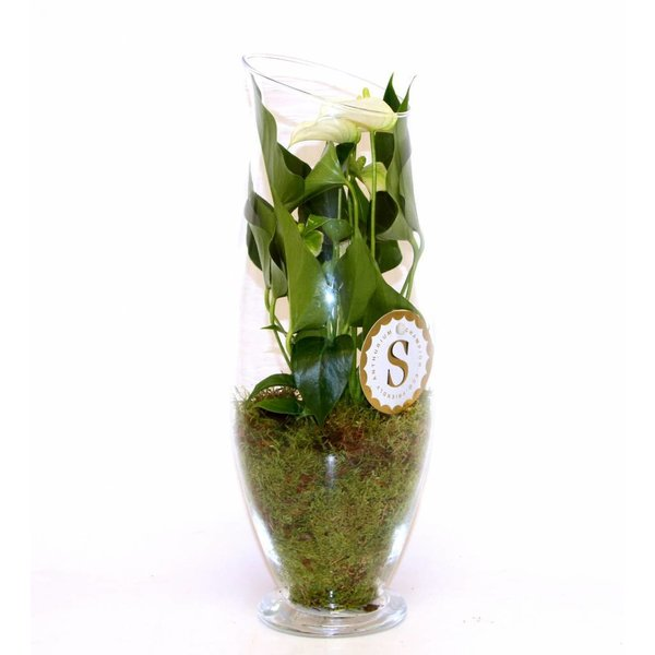 Anthurium Wit in vaas Exclusiv