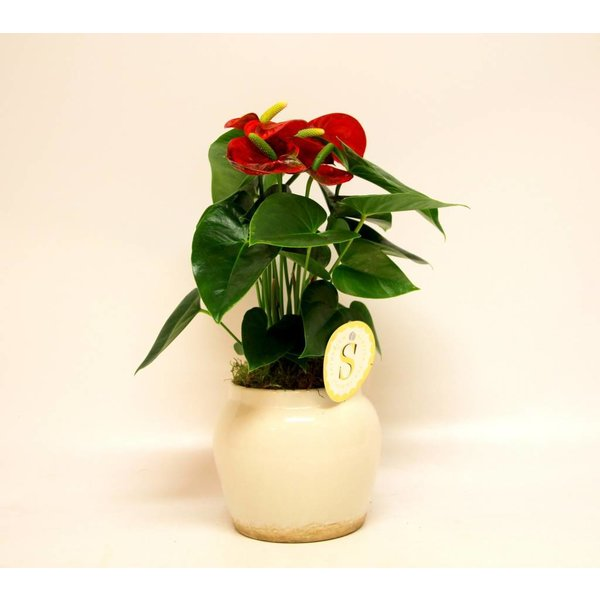 Anthurium rood in pot Rome