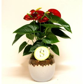 Fleur.nl - Anthurium Red in Verapot