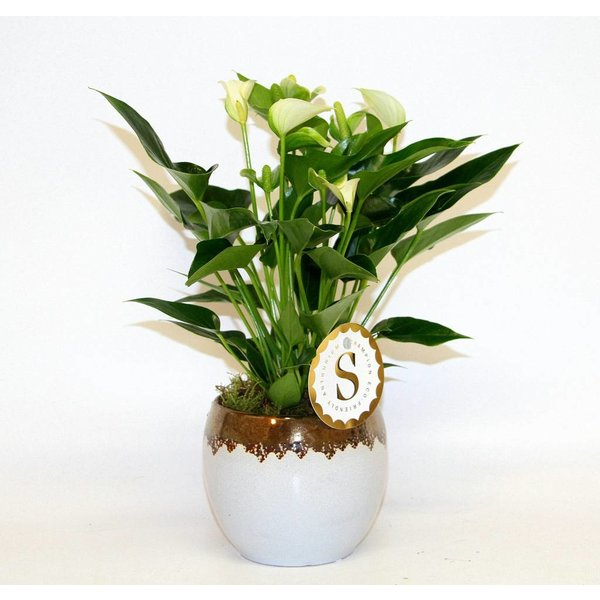 Anthurium Wit in Vera pot