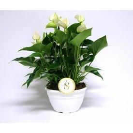 Fleur.nl - Anthurium Wit in schaal