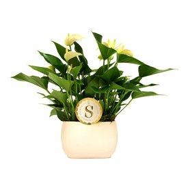 Fleur.nl - Anthurium Wit in Venis pot