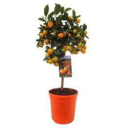 Fleur.nl - Sinaasappelboom Sinensis op stam Medium