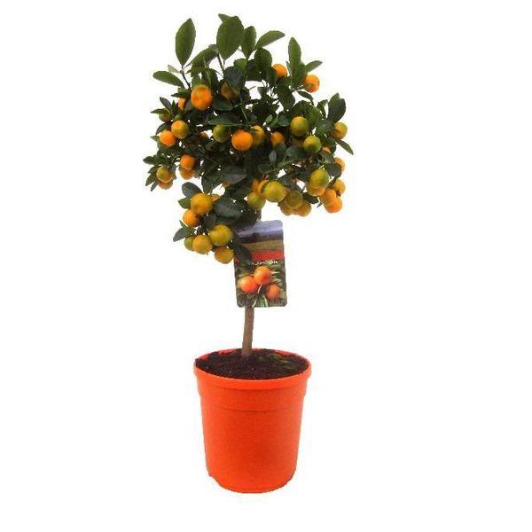 Sinaasappelboom op stam Medium