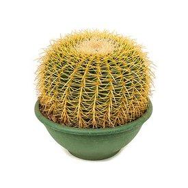 Fleur.nl - Cactus Echino Grusoni Large