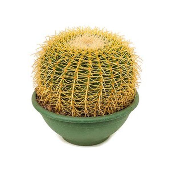 Cactus Echino Grusoni Large