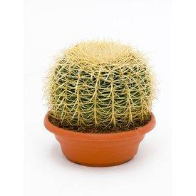 Fleur.nl - Cactus Echino Grusoni Medium