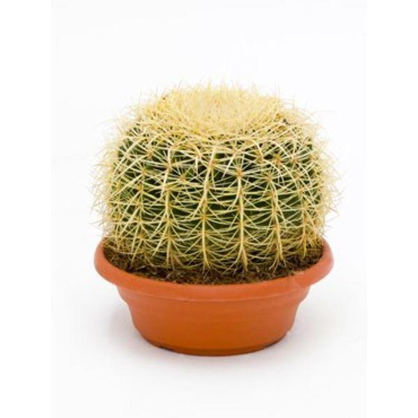 Cactus Echino Grusoni Medium