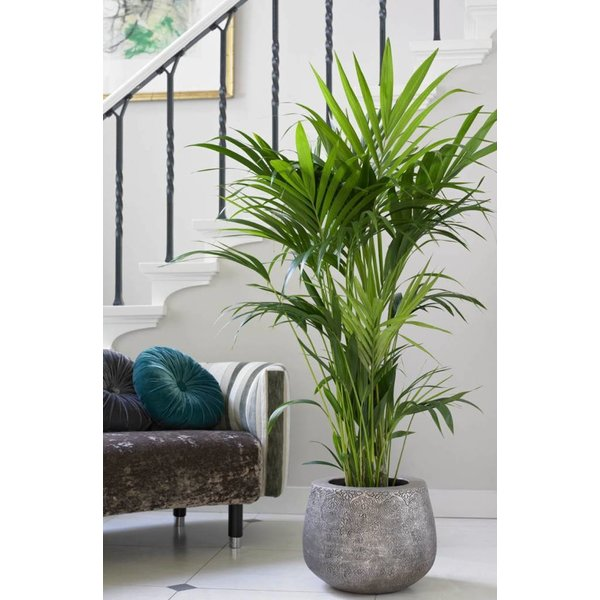 Palm Kentia Howea in Pot Elho loft