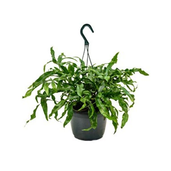 Microsorum Diversifolium Small