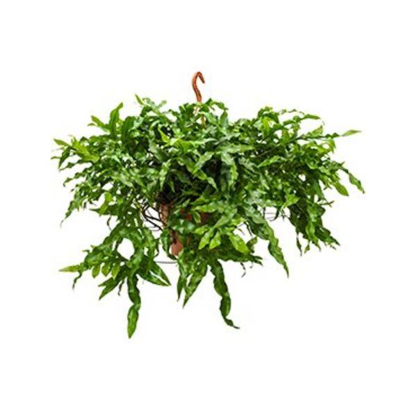 Microsorum Diversifolium Large