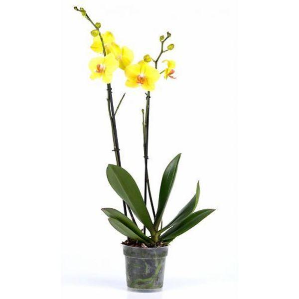 Orchidee Yellow