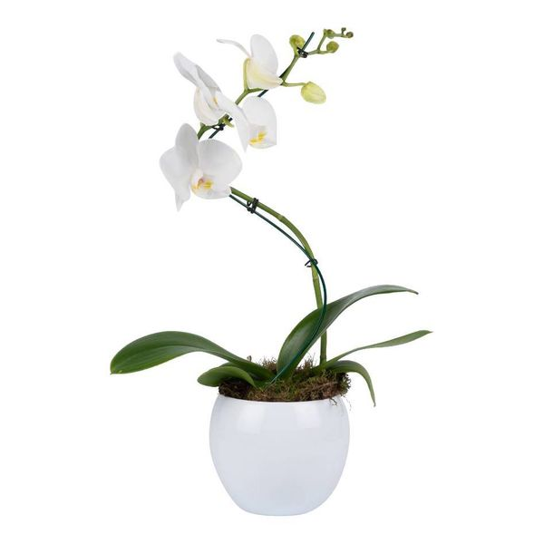 Orchidee White Twister in pot White