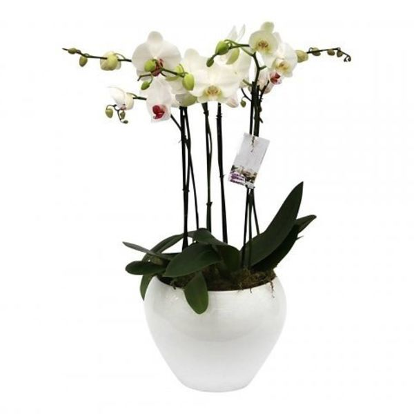 Orchidee White in pot White Complete