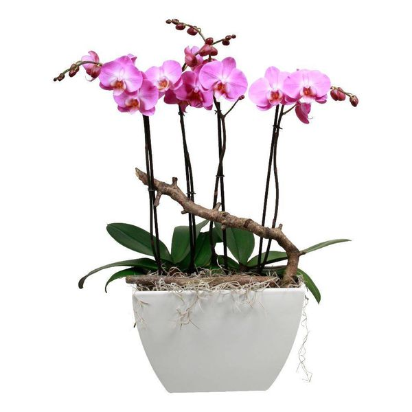 Orchidee robusto pink