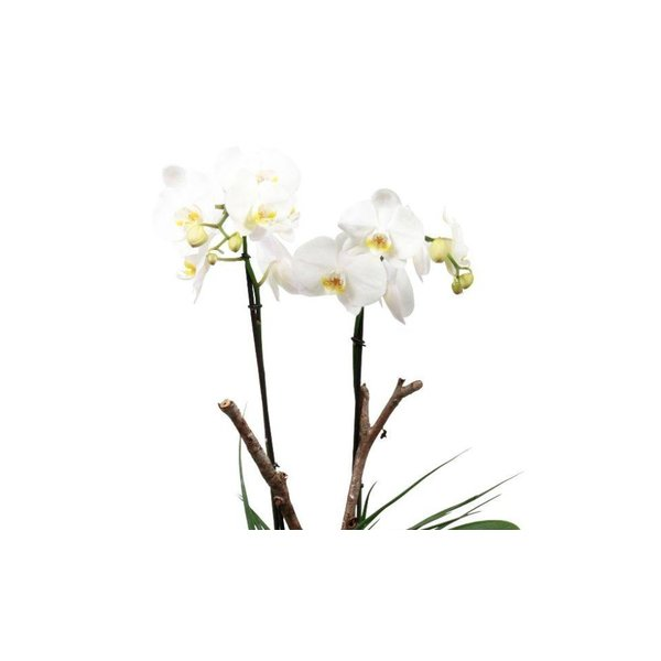 Orchidee White pot blu
