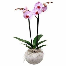 Fleur.nl - Orchidee Pink Concrete