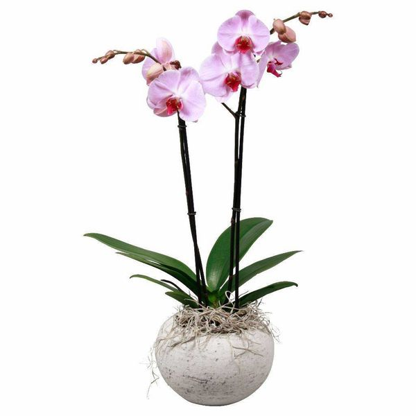 Orchidee Pink Concrete
