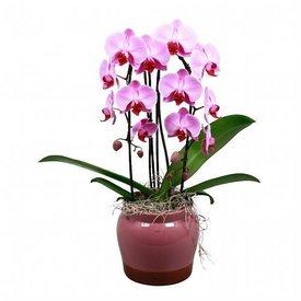 Fleur.nl - Orchidee Pink Cascade Torin