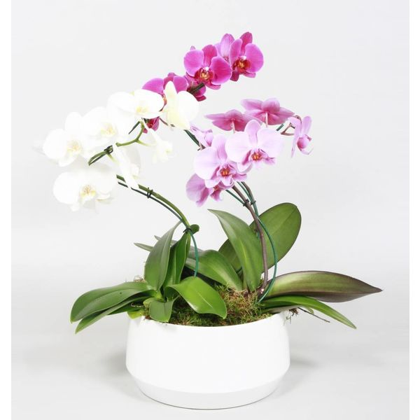 Orchidee Diamond Carnaval Twister