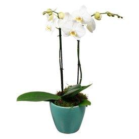 Fleur.nl - Orchidee White living blue