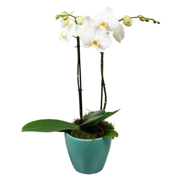 Orchidee White living blue