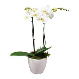 Fleur.nl - Orchidee White living