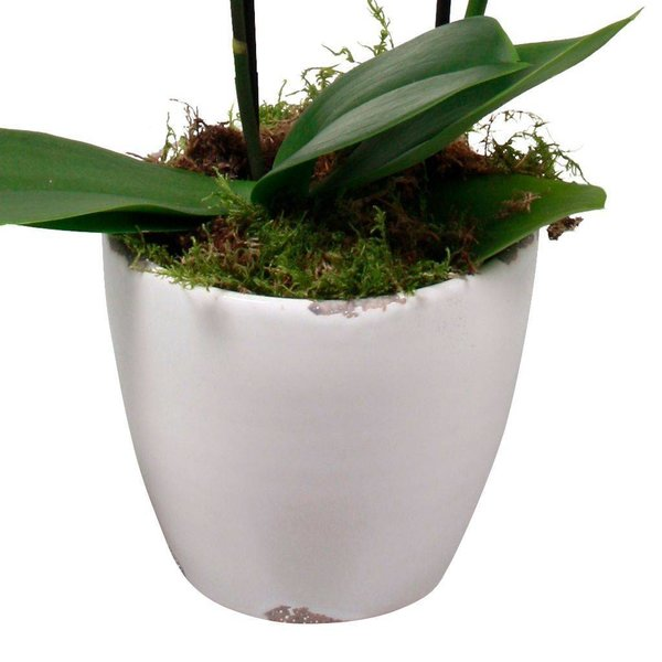 Orchidee White living