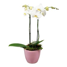 Fleur.nl - Orchidee White living Pink