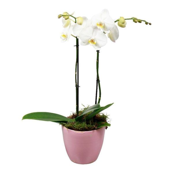 Orchidee White living pink