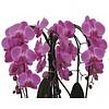 Orchidee Pink Diamond Crown