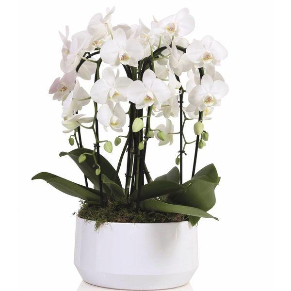 Orchidee White Diamond Crown
