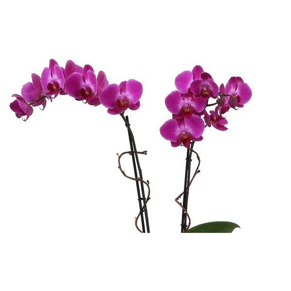 Orchidee purple Noële