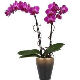 Fleur.nl - Orchidee purple Noële