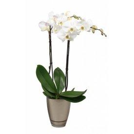 Fleur.nl - Orchidee white Noële
