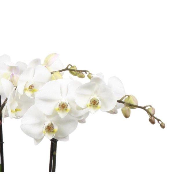 Orchidee white Noële