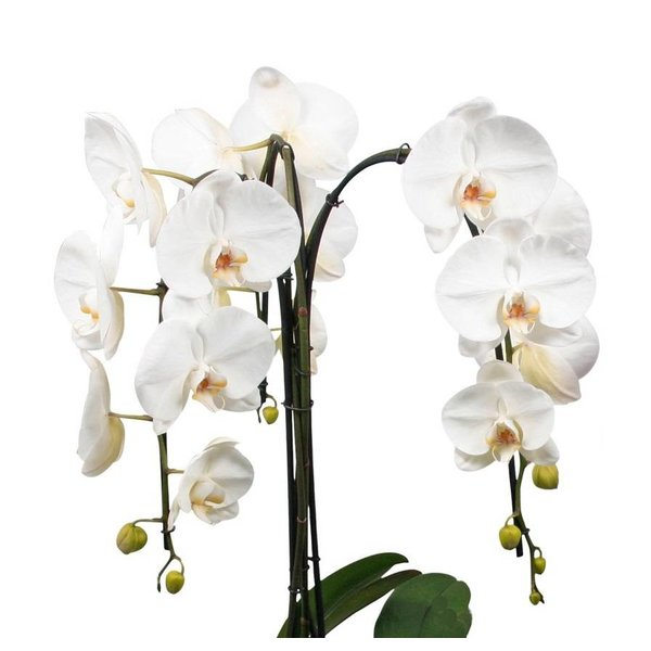 Orchidee fountain cascade