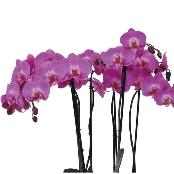Orchidee Pink Fountain