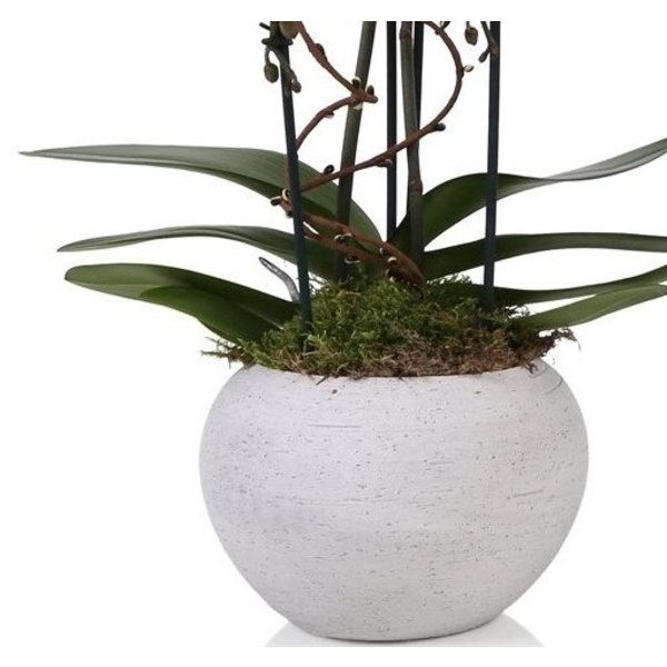 Orchidee White togo