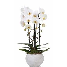 Fleur.nl - Orchidee White cascade togo