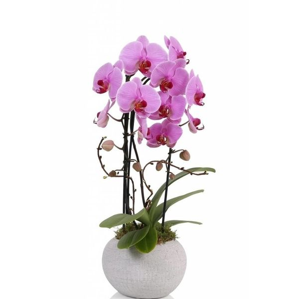 Orchidee Pink Togo