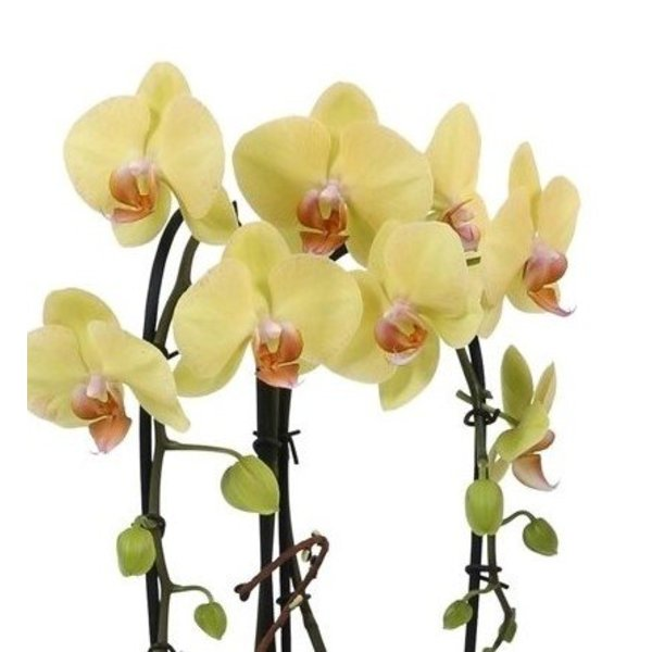 Orchidee Yellow Togo