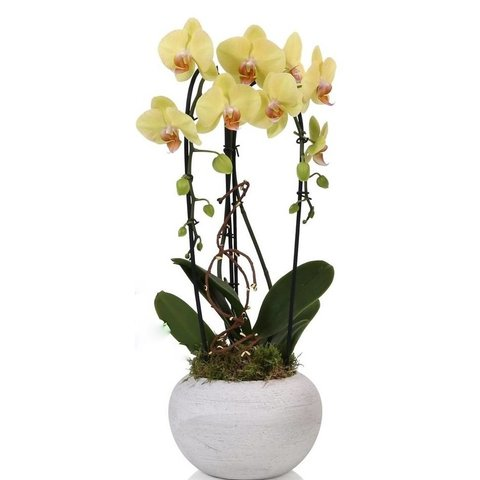 Orchidee Yellow Cascade Togo
