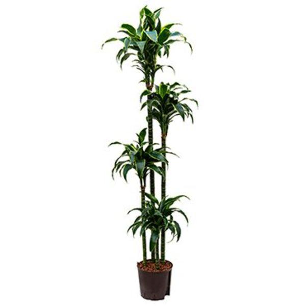 Dracaena Dorado 4-stam - hydrocultuur