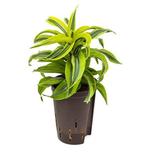 Dracaena Lemon Surprise - hydrocultuur